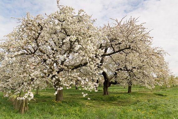 Kersenbomen in bloei van Marijke van Eijkeren