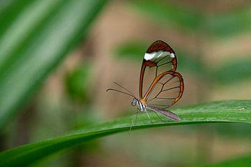 Glasswinged butterfly (Greta oto) van I Kroft