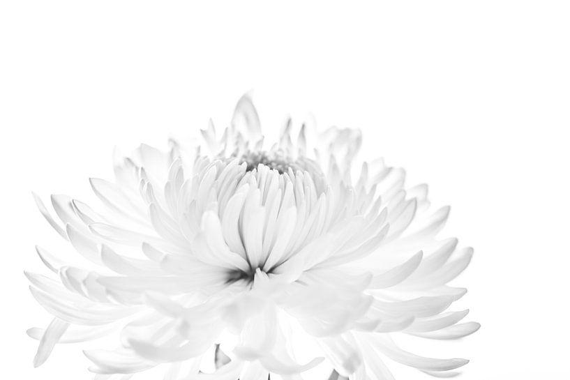 Chrysant van Ratna Bosch