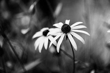 Rudbeckia fulgida schwarz-weiß von Tania Perneel