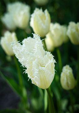 Weiße Tulpen mit ungewöhnlich geformten Blütenblättern von Bart Nikkels