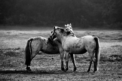 Paarden in Twente van