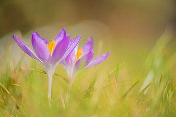 Krokus im Gras von Yolanda Wals