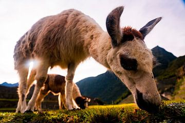 Weidende Lamas in Machu Picchu von John Ozguc