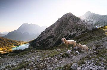 schapen met lammeren in hoge bergen bij meer bij zonsopgang van Olha Rohulya