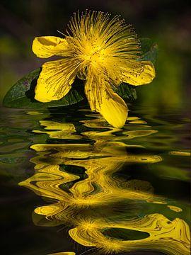Water bloem -  hypericum,  van Christine Nöhmeier