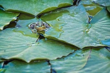 Groene kikker (Pelophylax) tussen de waterplanten in een vijver van Carola Schellekens