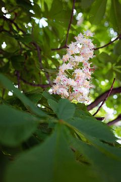 Kastanienblüte an einem Frühlingsmorgen von Kerstin Marosi