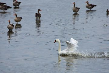Een zwaan in actie van Gerard de Zwaan