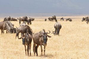 Kudde gnoes in Afrika van