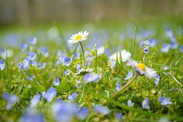 Rittersporn und Gänseblümchen, schöne Frühlingsblumen auf dem Rasen von Michel Geluk