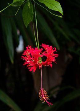 Hibiskus rot von Bianca ter Riet