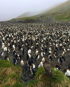 Subantarctic Skua op wacht bij een Royal Penguin kolonie