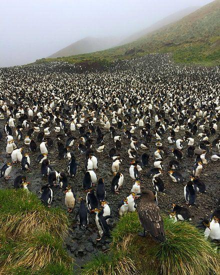 Subantarctic Skua op wacht bij een Royal Penguin kolonie van Beschermingswerk voor aan uw muur