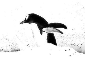 Gentoo pinguing van Stefan van Dongen
