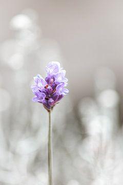 Lavendel van ThograPictures