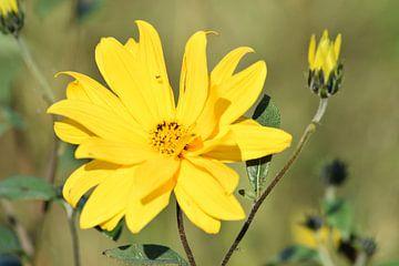 Gele bloem von Hindeloopen Natuurlijk