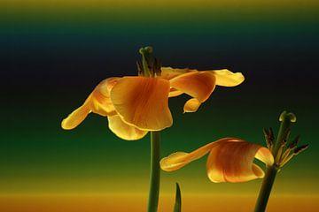 Bloemenkunst - Tulips art-  je moet er oog voor hebben en gewoon zien! van Wim Bodewes