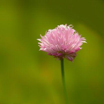 Bieslook of Allium schoenoprasum van Ronald Smits