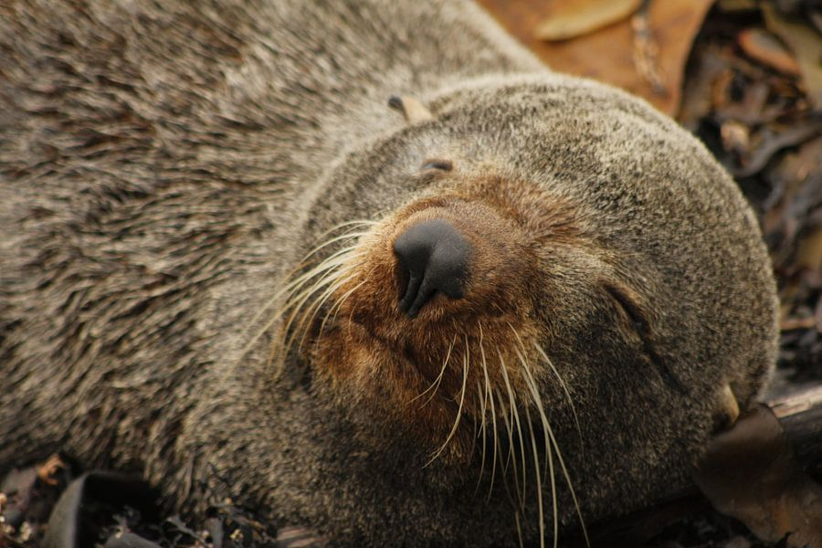 Zeehond in slaap van Inge Teunissen