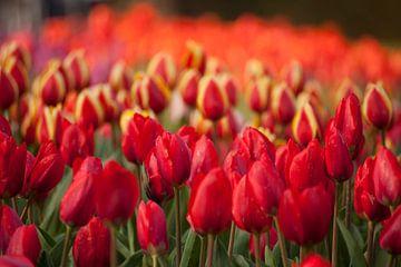 Feld mit roten Tulpen,  Niederlande von Peter Schickert
