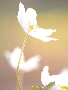 Frühlingsanemone von E.H. Efek