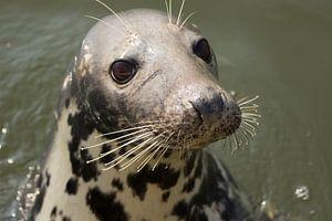 Portret van een nieuwsgierige zeehond! van