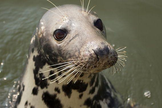 Portret van een nieuwsgierige zeehond!