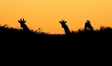 Langnek silhouetten van Joris Pannemans - Loris Photography