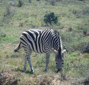 Grazende zebra van
