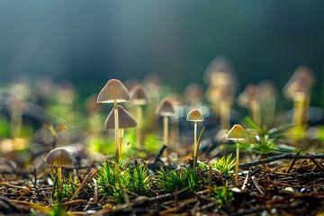 Kleine paddestoelen van Ron van Ewijk