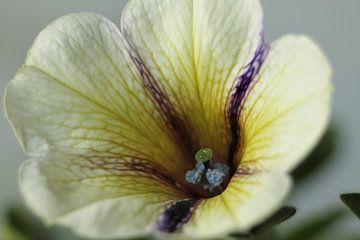 Petunia von sandra ten wolde