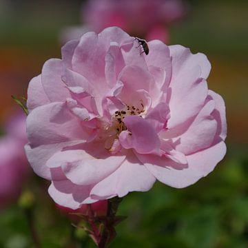 Rose van Gabi Siebenhühner
