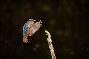 Eisvogel, Alcedo atthis von Gert Hilbink