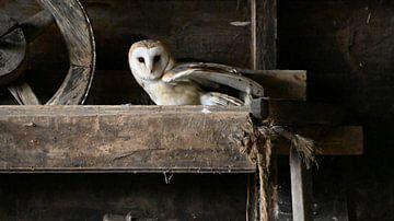Kerkuil van Vrije Vlinder Fotografie