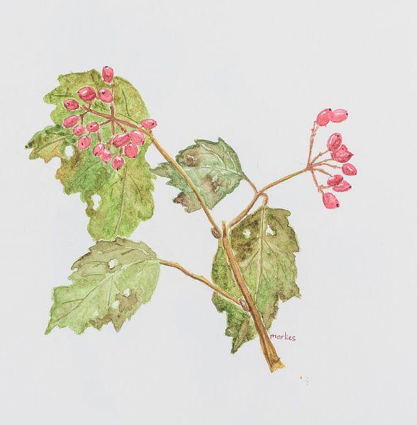 Gelderse roos bessen, aquarel van Marlies Huijzer. Origineel ca 20 x 20 cm van Martin Stevens