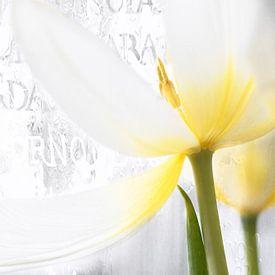 Witte Tulp met tekst  sur Vandain Fotografie