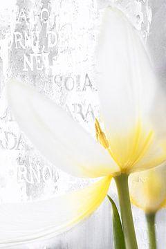 Tulipe blanche avec texte sur Ingrid Van Damme fotografie