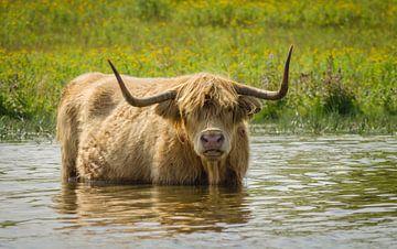 Hell gefärbter schottischer Hochländer von Ans Bastiaanssen