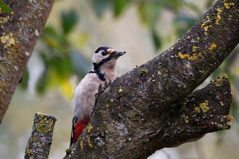woodpecker van Erich Werner
