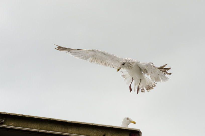 Zeemeeuw gaat landen van Mark Bolijn