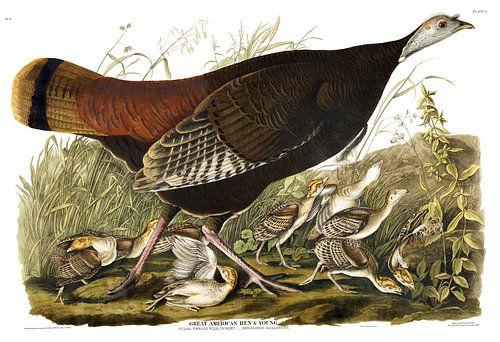 Kalkoen van Birds of America