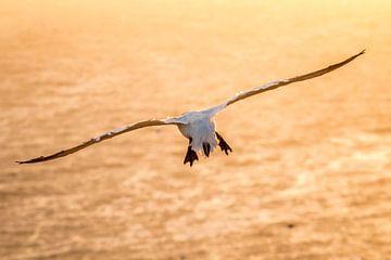 Vliegende Jan van Gent tijdens zonsondergang van Yvonne van Leeuwen