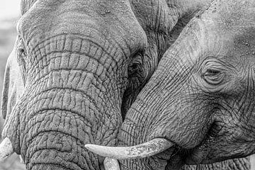 Liebe zwischen Elefanten von Eddy Kuipers