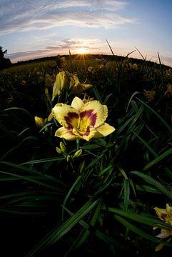 Gele lelie tegen zonsondergang, Venlo van Marcel Admiraal