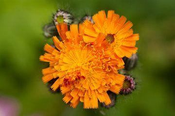 Oranje Havikskruid in bloei van Sanne van der Valk