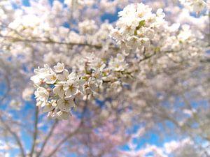 Lente bloesem