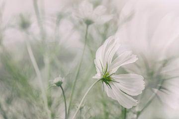 White flower Cosmea sur Ellen Driesse