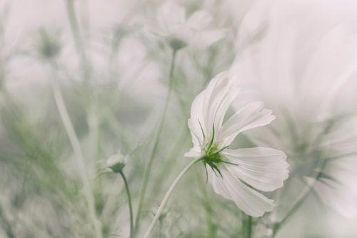 Witte Cosmea van Ellen Driesse