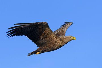 Zeearend vliegend in de lucht boven een Fjord van